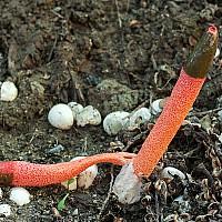 Мутинус Равенеля (Mutinus ravenelii)