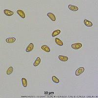 Иносперма краснеющая (Inosperma erubescens). Споры