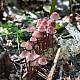 Мицена кровавоножковая (Mycena haematopus)