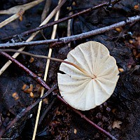 Негниючник сухой (Marasmius siccus)