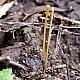 Макротифула дудковидная (Macrotyphula fistulosa)