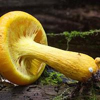 Гимнопил Юноны (Gymnopilus junonius)