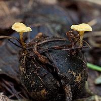 Гименосцифус плодоволюбивый (Hymenoscyphus fructigenus)
