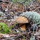 Маслёнок жёлто-бурый (Suillus variegatus)