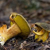 Моховик тёмно-коричневый (Xerocomus ferrugineus)