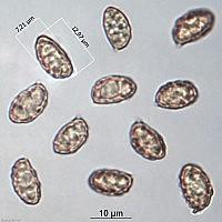 Паутинник обыкновенный (Cortinarius trivialis). Споры.