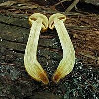 Чешуйчатка лимонная (Pholiota limonella)