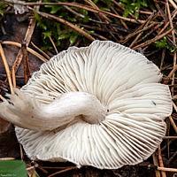 Рядовка землистая (Tricholoma terreum)