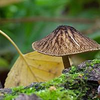 Плютей умбровый (Pluteus umbrosus)