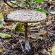 Гриб-зонтик Оливье (Chlorophyllum olivieri)