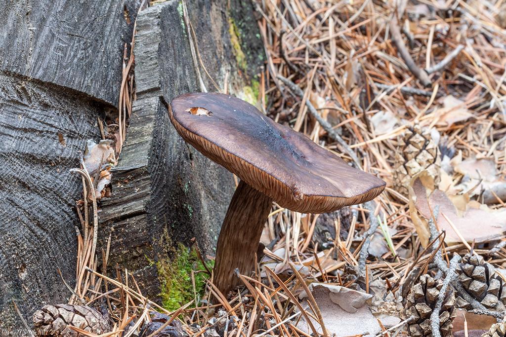 Плютей чёрноокаймлённый (Pluteus atromarginatus)
