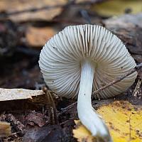 Плютей серо-бурый (Pluteus cinereofuscus). Фотография Татьяны Бульонковой.