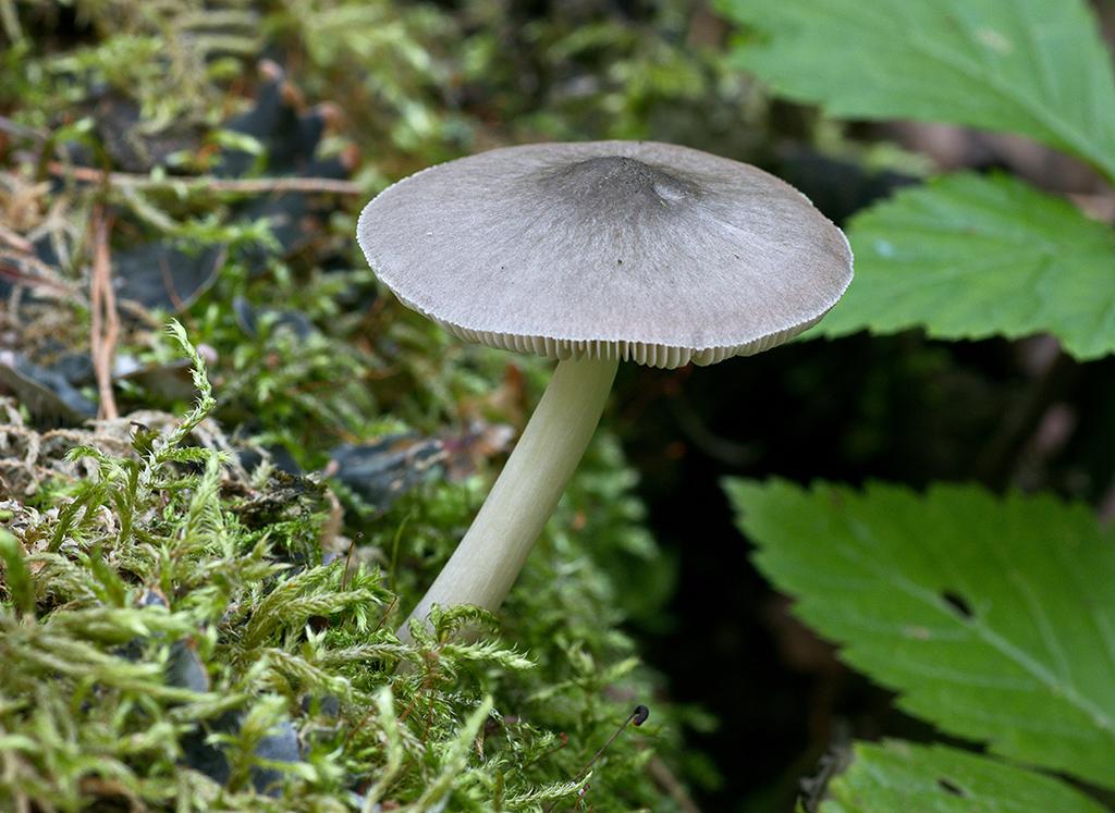 Плютей ивовый (Pluteus salicinus)