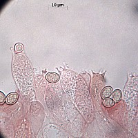 Вольвариелла шелковистая (Volvariella bombycina). Базидии.