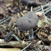 Лопастник чёрный (Helvella atra)