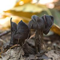 Лопастник ямчатый (Helvella lacunosa). Фотография Татьяны Бульонковой.