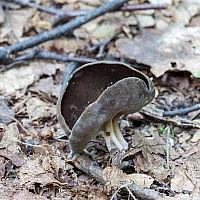 Лопастник Келе (Helvella queletii)
