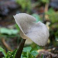 Лопастник длинноножковый (Helvella macropus). Фотография Татьяны Бульонковой.