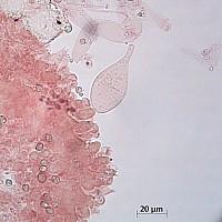 Плютей грязноножковый (Pluteus podospileus). Хейлоцистиды.