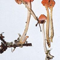 Атениелла Адонис (Atheniella adonis)