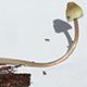 Мицена покрытая (Mycena amicta)