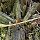 Мицена зелёноокаймлённая (Mycena viridimarginata)