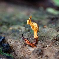 Офиокордицепс изменчивый (Ophiocordyceps variabilis)