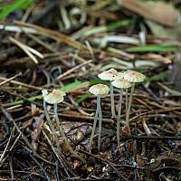 Роридомицес росистый (Roridomyces roridus)