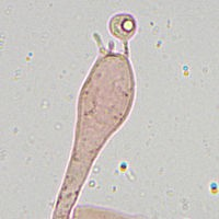 Поплавок жёлто-коричневый (Amanita fulva). Базидии.