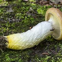 Мокруха еловая (Gomphidius glutinosus)