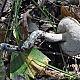 Подберёзовик твердоватый (Leccinum duriusculum)