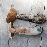 Подосиновик жёлто-бурый (Leccinum versipelle) - (syn. Leccinum callitrichum)