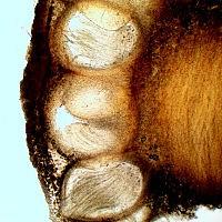 Офиокордицепс изменчивый (Ophiocordyceps variabilis). Перитеции.