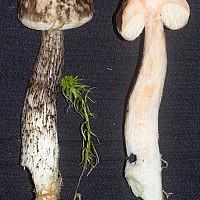 Подберёзовик разноцветный (Leccinum variicolor)
