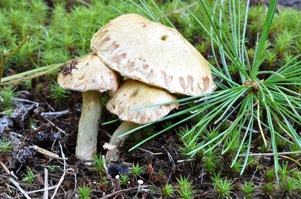 Съедобные грибы сибири фото с названиями