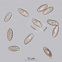 Маслёнок сибирский (Suillus sibiricus). Споры.