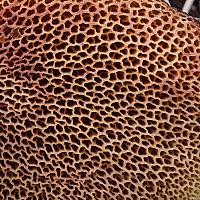 Маслёнок трентийский (Suillus tridentinus)