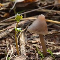 Мицена пероногая (Mycena plumipes)