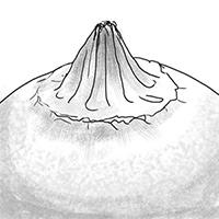 Складчатый отграниченный перистом Geastrum campestre