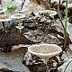 Полипорус ямчатый (Polyporus arcularius)