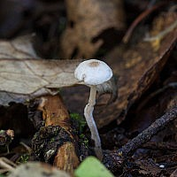 Коллибия кудрявая (Collybia cirrhata)