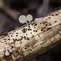 Кроцикреас увенчанный (Crocicreas coronatum)