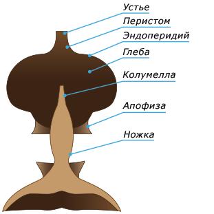 Geastrum, схема