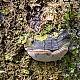 Трутовик ложный осиновый (Phellinus tremulae)