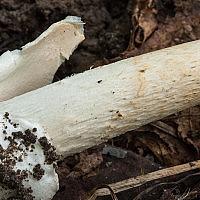 Поплавок желтеющий (Amanita flavescens)