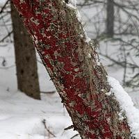 Гименохете окровавленная (Hymenochaete cruenta)