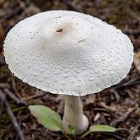 Гриб-зонтик белый (Macrolepiota excoriata)