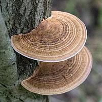 Дедалеопсис бугристый (Daedaleopsis confragosa)