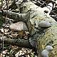 Вешенка зачехлённая (Pleurotus calyptratus)