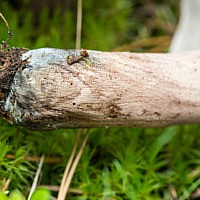 Саркодон шероховатый (Sarcodon scabrosus)